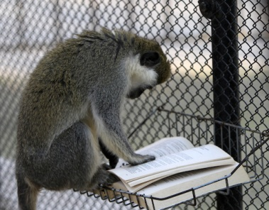 Penka, the Green Sea-Cat monkey, plays with a book which was given to him as a Christmas present by zoo-keepers at Varna Zoo